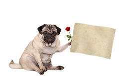 Pug puppy dog sitting down holding blank vintage paper scroll, isolated on white background Royalty Free Stock Image