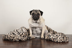 Pug puppy dog sitting down on wooden floor with fuzzy leopard print blanket. Cute pug puppy dog sitting down on wooden floor with fuzzy leopard print blanket Stock Photography