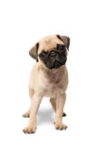 Pug puppy dog standing stock images