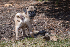 Pug Puppy doing yard work. A 12 week old Pug puppy holding mulch in his mouth outside in the yard Royalty Free Stock Photography