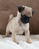 Pug Puppy. An eight week old Pug puppy Stock Photo