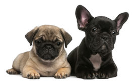 Pug puppy en het Franse puppy van de Buldog, 8 weken oud Stock Fotografie