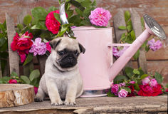Pug puppy and flower Stock Photography