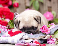 Pug puppy and flower roses Royalty Free Stock Photography
