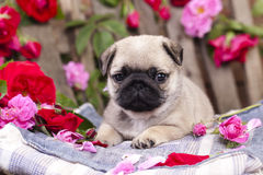 Pug puppy and flower roses Stock Photo
