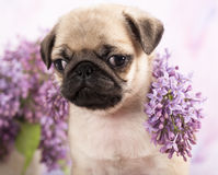 Pug puppy and  flowers Stock Images
