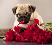 Pug puppy and flowers Royalty Free Stock Photos