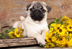 Pug puppy and flowers Stock Photo