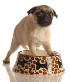 Pug puppy in food dish Stock Images