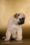 Pug puppy on golden background Royalty Free Stock Images
