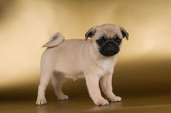 Pug puppy on golden background Royalty Free Stock Photography