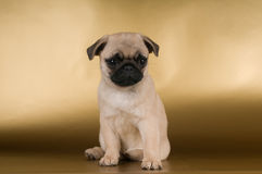 Pug puppy on golden background Stock Image