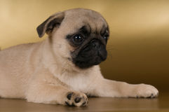 Pug puppy on golden background Royalty Free Stock Photo