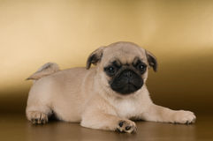 Pug puppy on golden background Stock Images