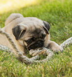 Pug puppy on the green grass with rope rope Royalty Free Stock Image