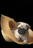 Pug Puppy in a Hat Royalty Free Stock Image