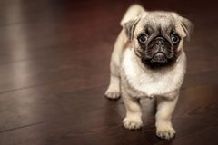 Pug puppy indoors