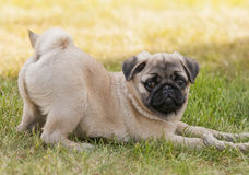 Pug puppy on the lawn Royalty Free Stock Image