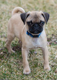 Pug puppy. A little Pug puppy portrait Royalty Free Stock Images