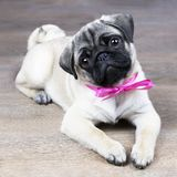 Puppy with a pink bow. The pug puppy is lying on the floor with a pink bow and looks cute stock images