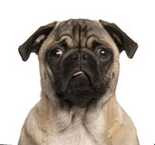 Pug puppy making a face, isolated on white Royalty Free Stock Images