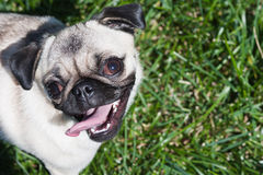 Pug puppy outside in grass. Picture of a small pug puppy looking up at camera while standing in the grass Stock Images