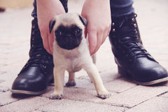 Pug puppy outside shoes Stock Photography