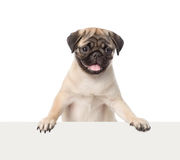 Pug puppy peeking from behind empty board. isolated on white Royalty Free Stock Image