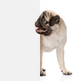 Pug puppy peeking from behind empty board. isolated on white Royalty Free Stock Images