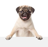 Pug puppy peeking from behind empty board. isolated on white Royalty Free Stock Photo