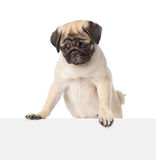 Pug puppy peeking from behind empty board and looking down. isolated Stock Photos