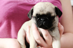 Pug puppy pink Royalty Free Stock Photography