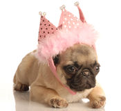 Pug puppy with pink tiara. Cute fawn pug puppy wearing pink tiara isolated on white background Royalty Free Stock Photos