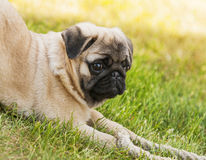 Pug puppy playing Royalty Free Stock Images