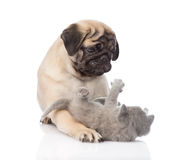 Pug puppy playing with tiny kitten. isolated on white background stock image