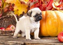 Pug puppy and pumpkin Stock Photo
