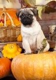 Pug puppy Royalty Free Stock Photos