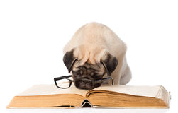 Pug puppy reading a book with glasses. isolated on white Royalty Free Stock Photo