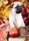 Pug puppy and red aplle Royalty Free Stock Images