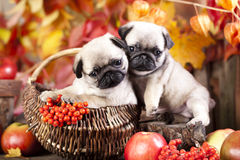 Pug puppy and red aplle Royalty Free Stock Photo