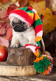 Pug puppy and red aplle Stock Photography