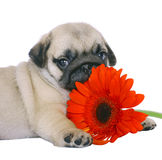Pug puppy with red gerbers. Stock Photo