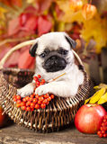 Pug puppy and rowan berries Stock Image