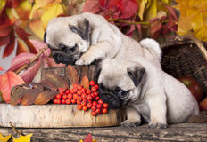 Pug puppy and rowan berries Royalty Free Stock Photo