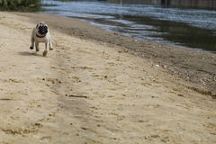 Pug puppy runs on a sandy beach on a summer day. Stock Photo
