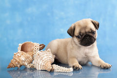 Pug puppy  and sea shells Stock Photo
