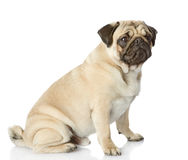 Pug puppy sitting in profile. Royalty Free Stock Image