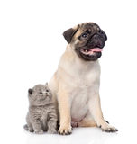 Pug puppy sitting with tiny scottish cat together. isolated on white Royalty Free Stock Photography
