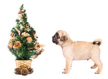 Pug puppy with a small Christmas tree. Isolated on white Stock Photo