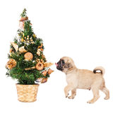 Pug puppy with a small Christmas tree. Isolated on white Royalty Free Stock Photos